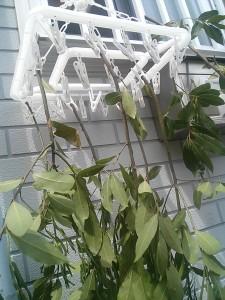 月桂樹をつるしてある写真
