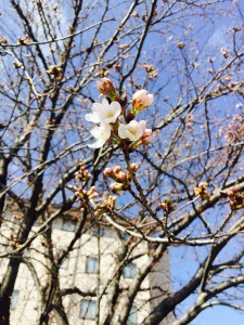 ホームズ裏の桜